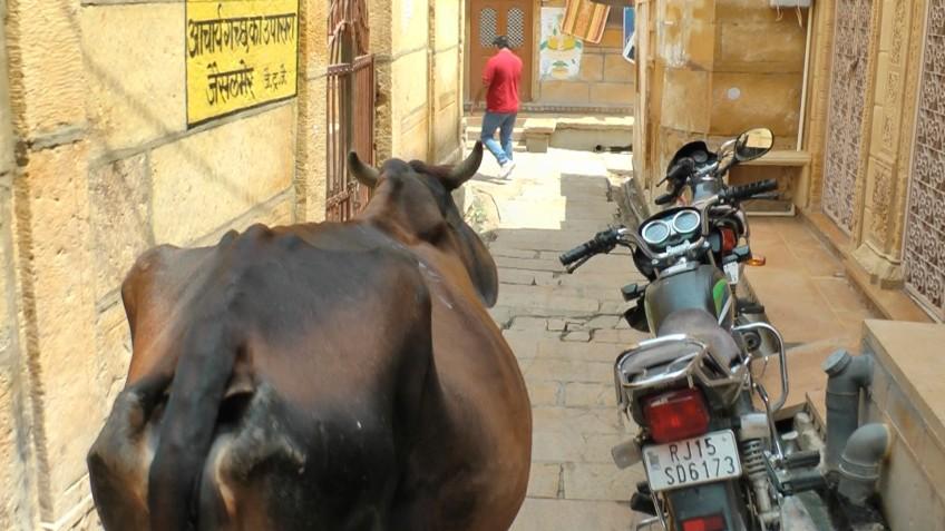 Kuh in einer engen Gasse