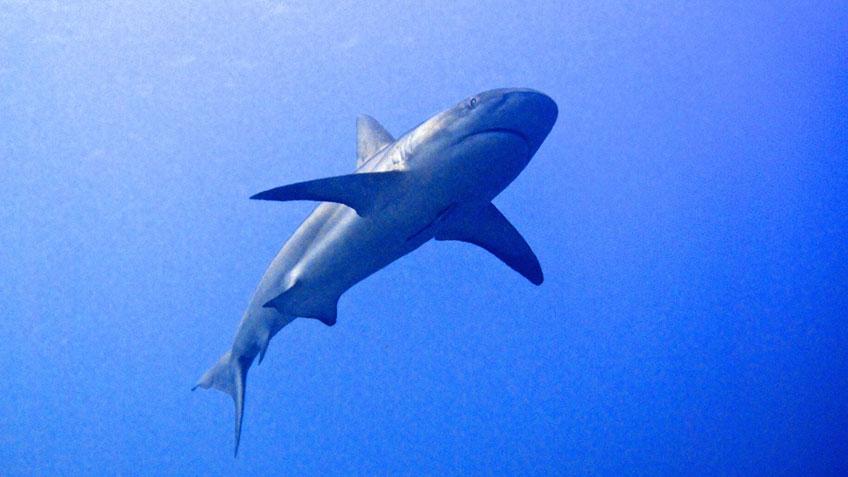 Hai unter Wasser