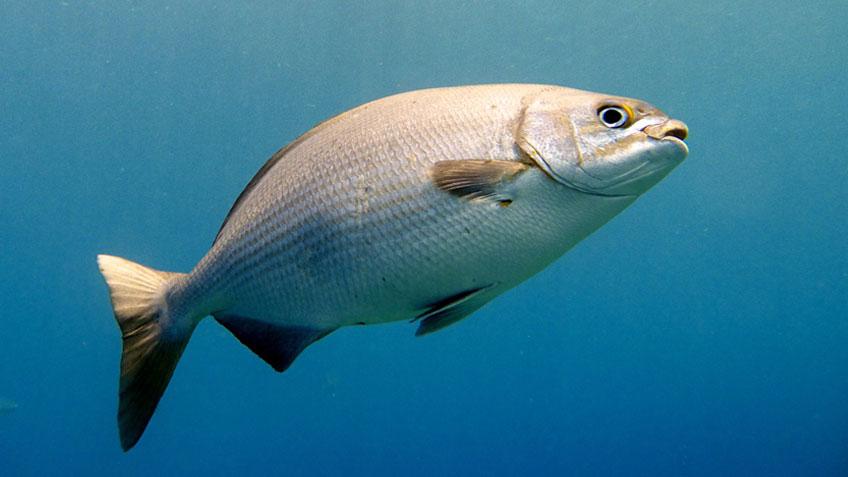silberner Fisch