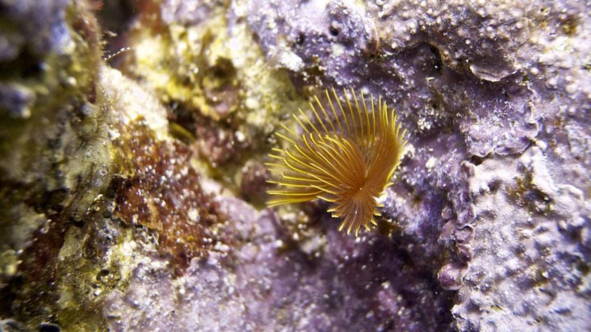 Röhrenwurm-Tentakel unter Wasser