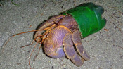 Ein Einsiedlerkrebs mit einer Plastikflasche als Häuschen