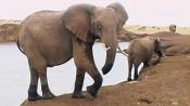 Elefant mit fehlender Rüsselspitze