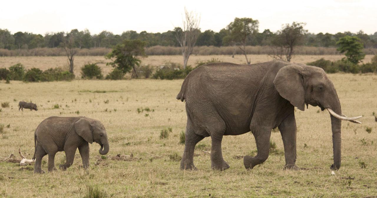 Elefantenkuh ohne Schwanz