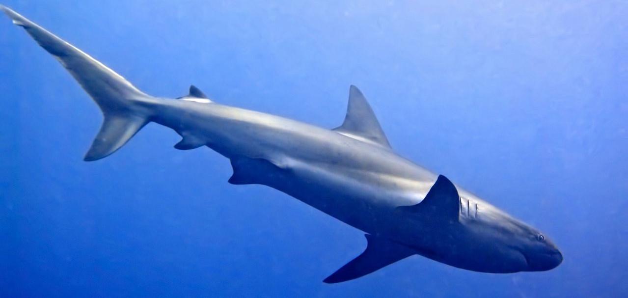 Karibischer Riffhai im Great Blue Hole, Belize