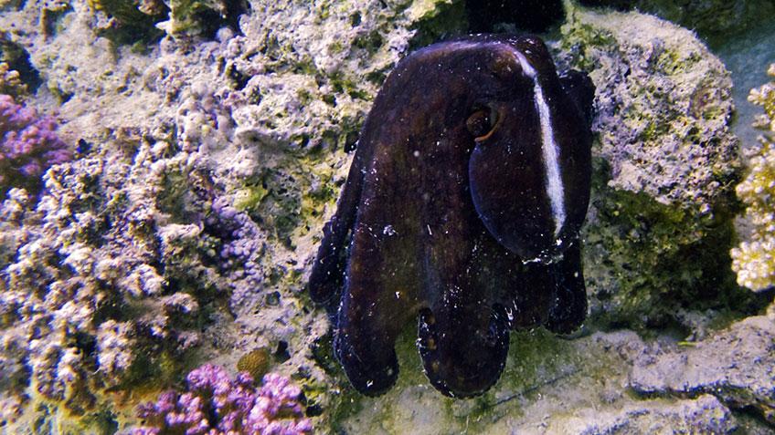 Oktopus im Roten Meer