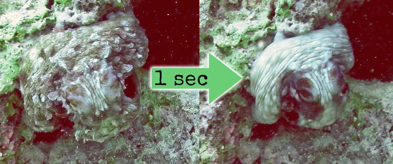 2-mal derselbe Oktopus im Abstand von einer Sekunde