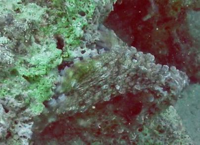 Getarnter Oktopus am Riff