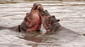 Zwei Flusspferde im Wasser