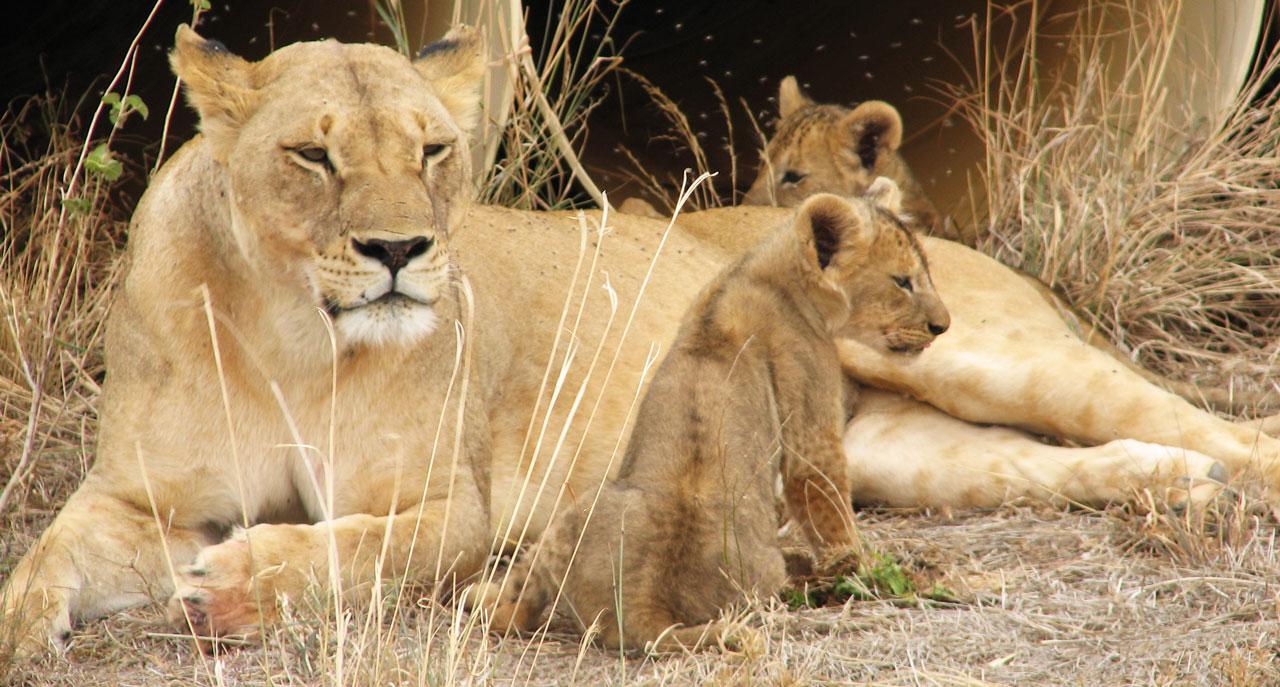 Löwenmutter mit 2 Jungen